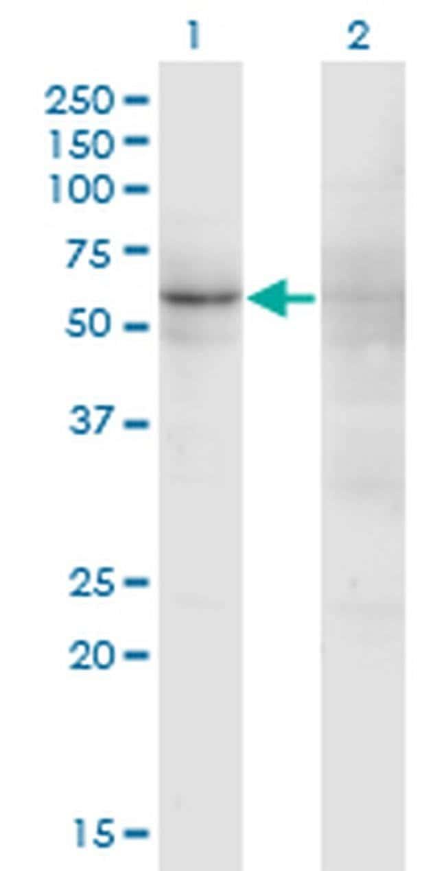 ZNF180 Mouse anti-Human, Clone: 4F3, Invitrogen 100 µg; Unconjugated