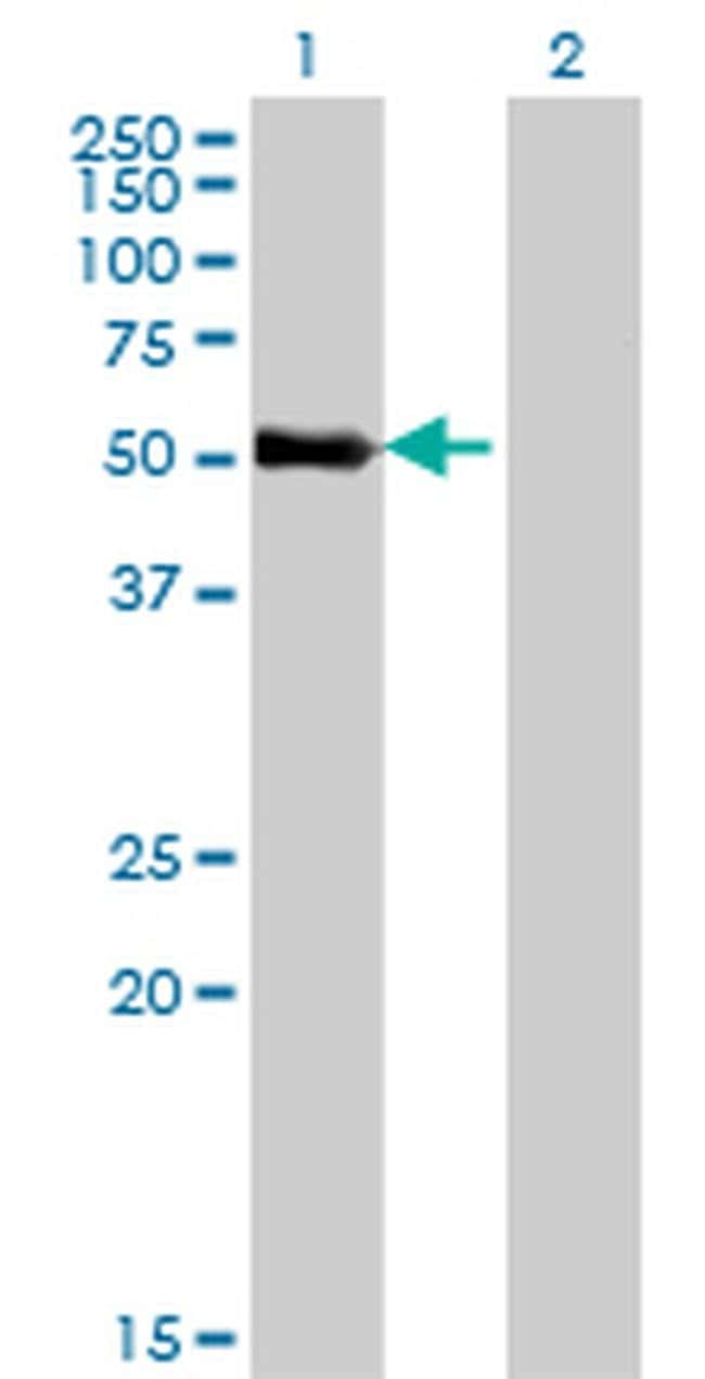 ZNF232 Mouse anti-Human, Clone: 1F8, Invitrogen 100 µg; Unconjugated