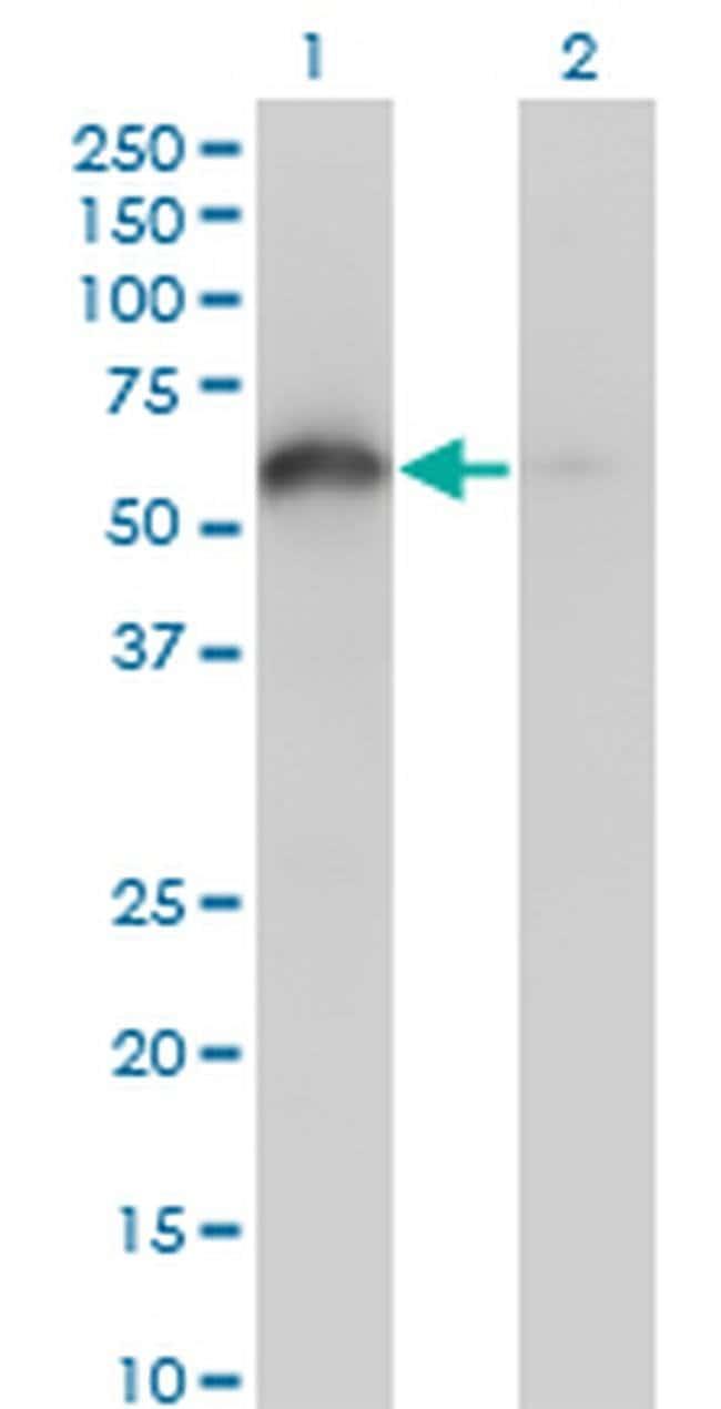 BAG4 Mouse anti-Human, Clone: 2G9, Invitrogen 100 µg; Unconjugated