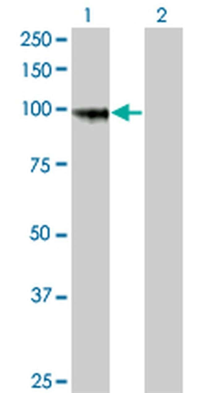 PCDHGA8 Mouse anti-Human, Clone: 1C11, Invitrogen 100 µg; Unconjugated