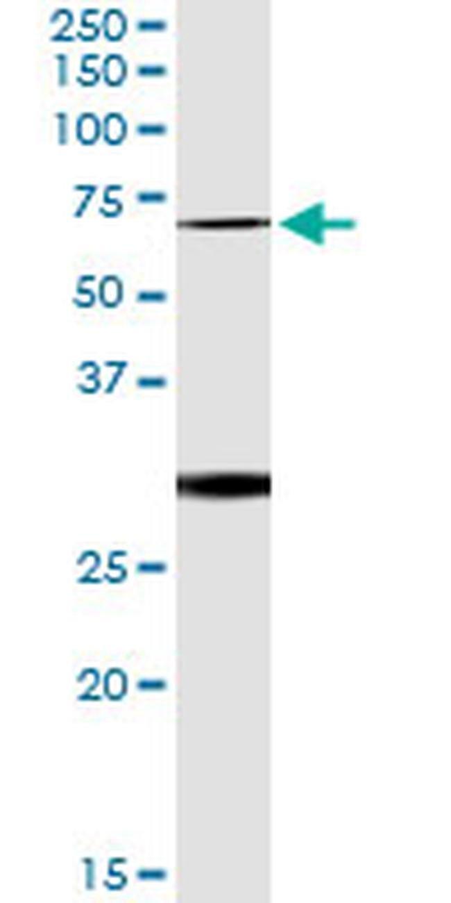 OXSR1 Mouse anti-Human, Clone: 2E9, Invitrogen 100 µg; Unconjugated