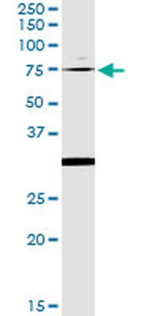 OXSR1 Mouse anti-Human, Clone: 1F6, Invitrogen 100 µg; Unconjugated