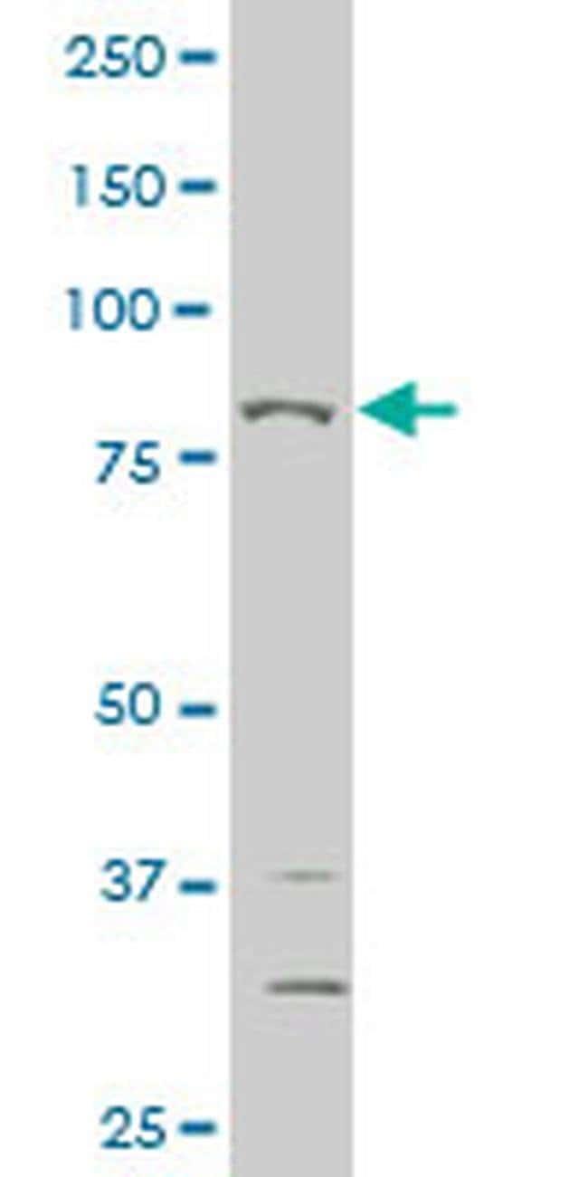 THRAP5 Mouse anti-Human, Clone: 3B10, Invitrogen 100 µg; Unconjugated