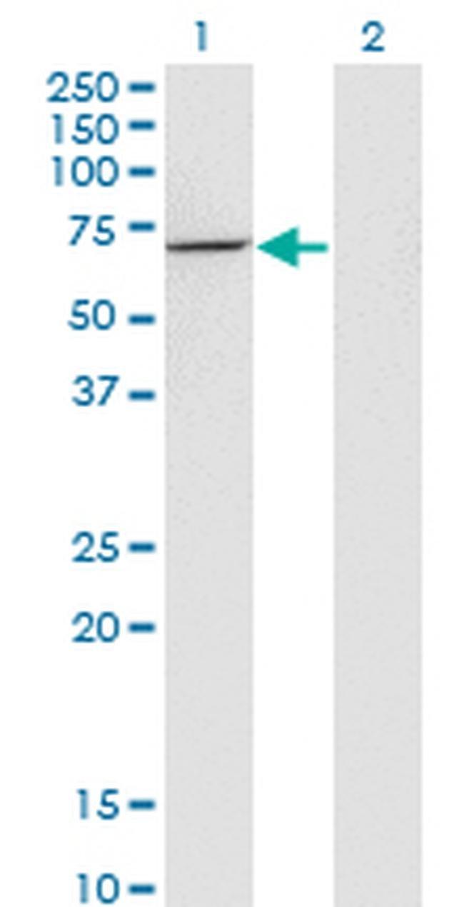 USH1C Mouse anti-Human, Clone: 2B3, Invitrogen 100 µg; Unconjugated