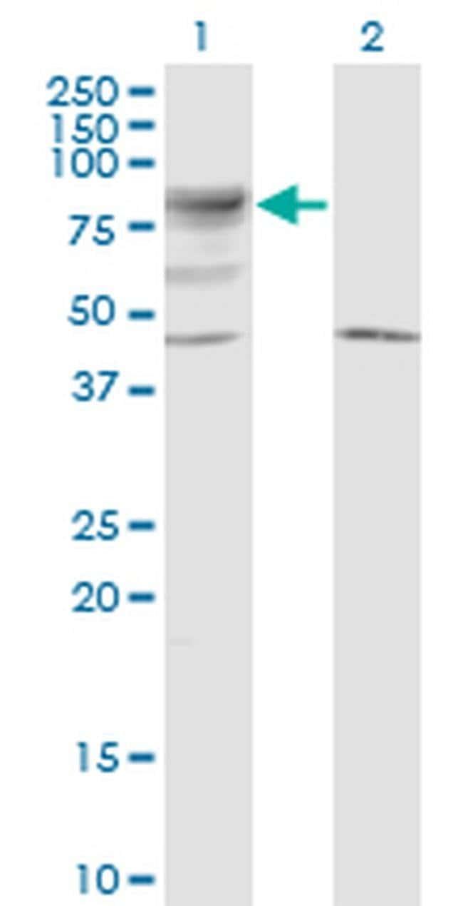 LRRN2 Mouse anti-Human, Clone: 6A9, Invitrogen 100 µg; Unconjugated