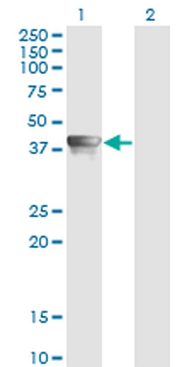 AHA1 Mouse anti-Human, Clone: 4F3-B6, Invitrogen 100 µg; Unconjugated