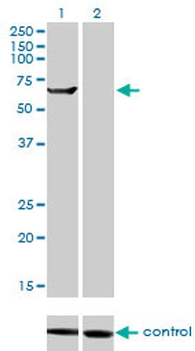 TRIM16 Mouse anti-Human, Clone: 5F4, Invitrogen 100 µg; Unconjugated
