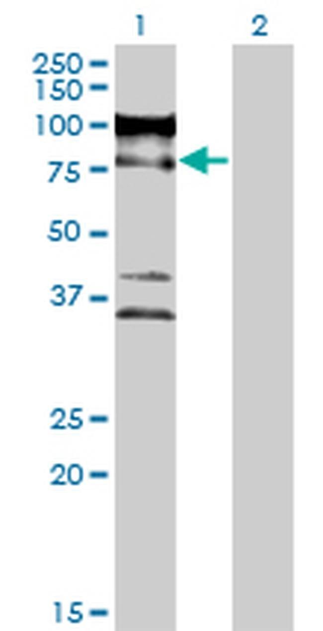 ZNF274 Mouse anti-Human, Clone: 1D8, Invitrogen 100 µg; Unconjugated