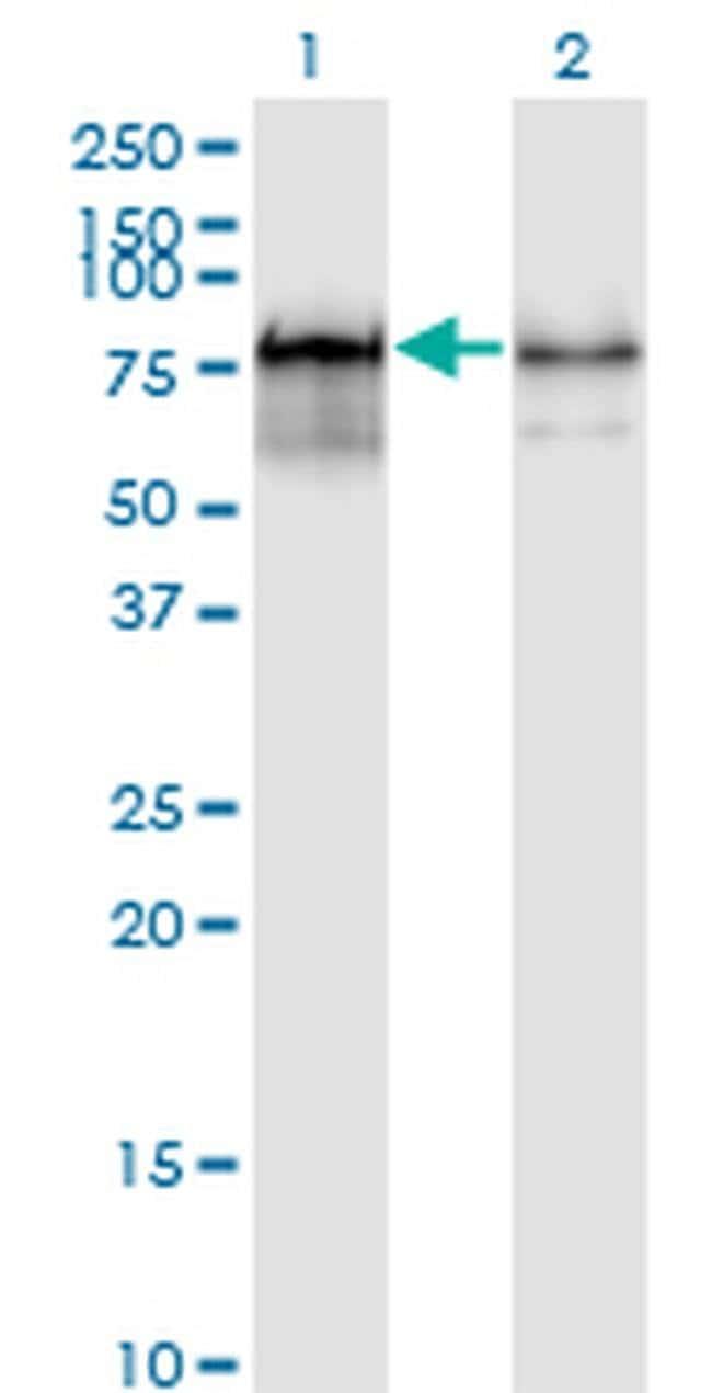 PWP1 Mouse anti-Human, Clone: 3A11, Invitrogen 100 µg; Unconjugated