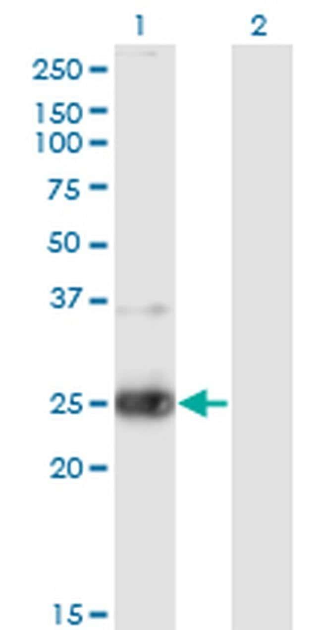 NXPH3 Mouse anti-Human, Clone: 4C8, Invitrogen 100 µg; Unconjugated