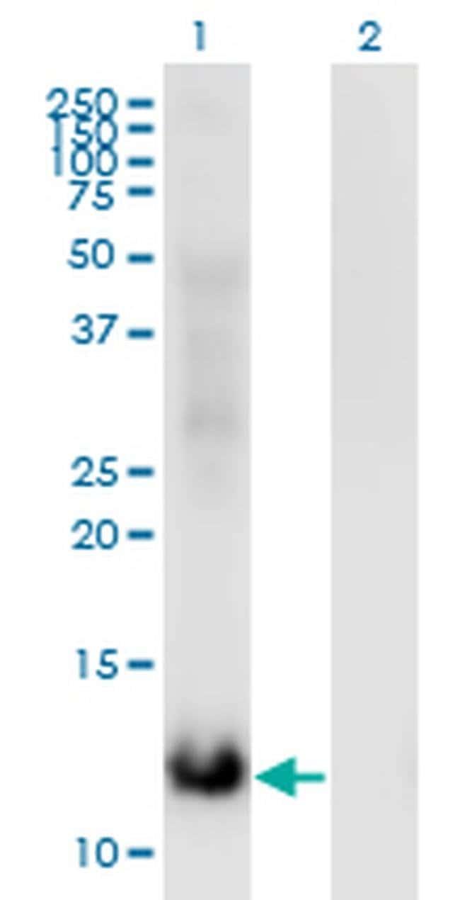 MSRB2 Mouse anti-Human, Clone: 3F12, Invitrogen 100 µg; Unconjugated