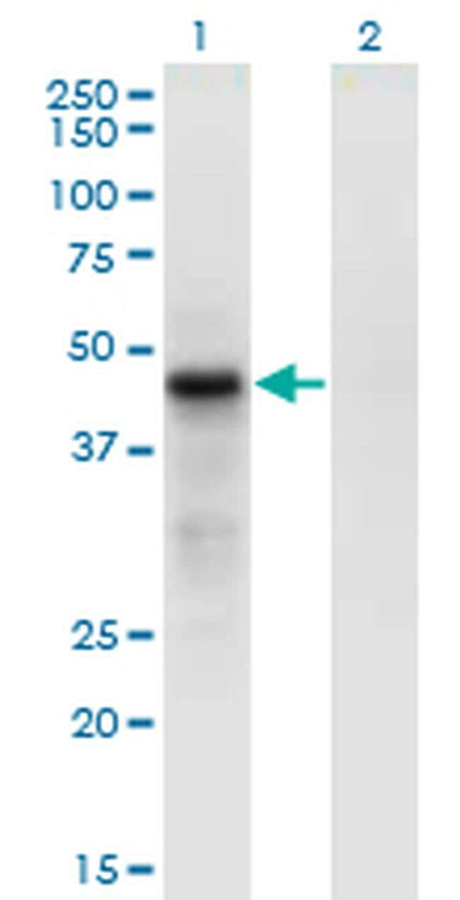 Cdc42EP4 Mouse anti-Human, Clone: 3G10, Invitrogen 100 µg; Unconjugated