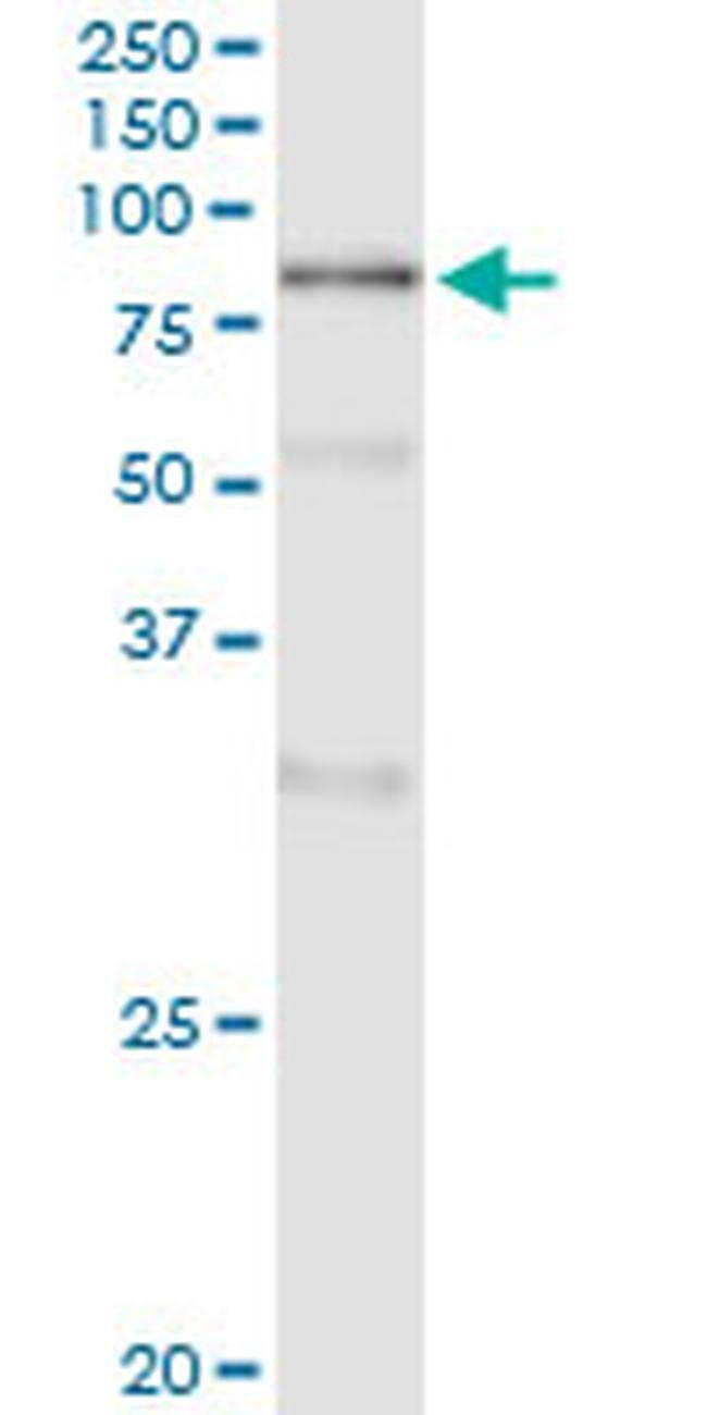 POLA2 Mouse anti-Human, Clone: 2A8, Invitrogen 100 µg; Unconjugated