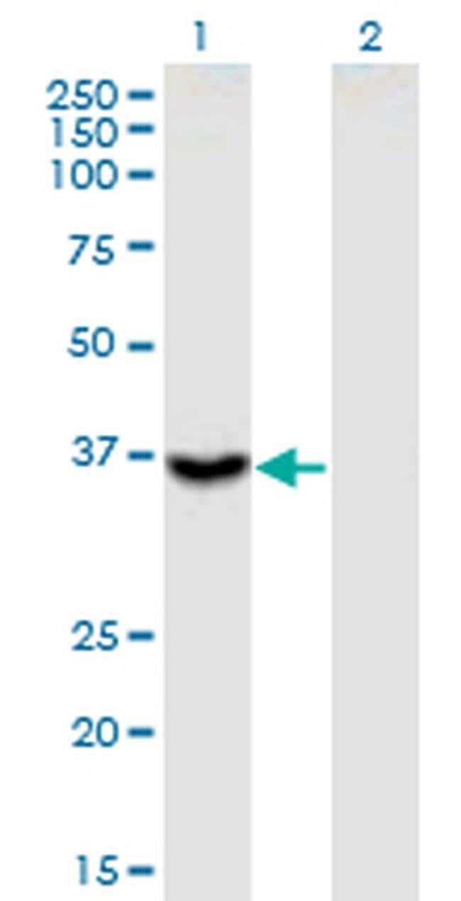 ITGB1BP2 Mouse anti-Human, Clone: 3G9, Invitrogen 100 µg; Unconjugated