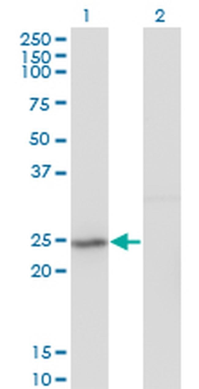 GINS2 Mouse anti-Human, Clone: 3H4, Invitrogen 100 µg; Unconjugated