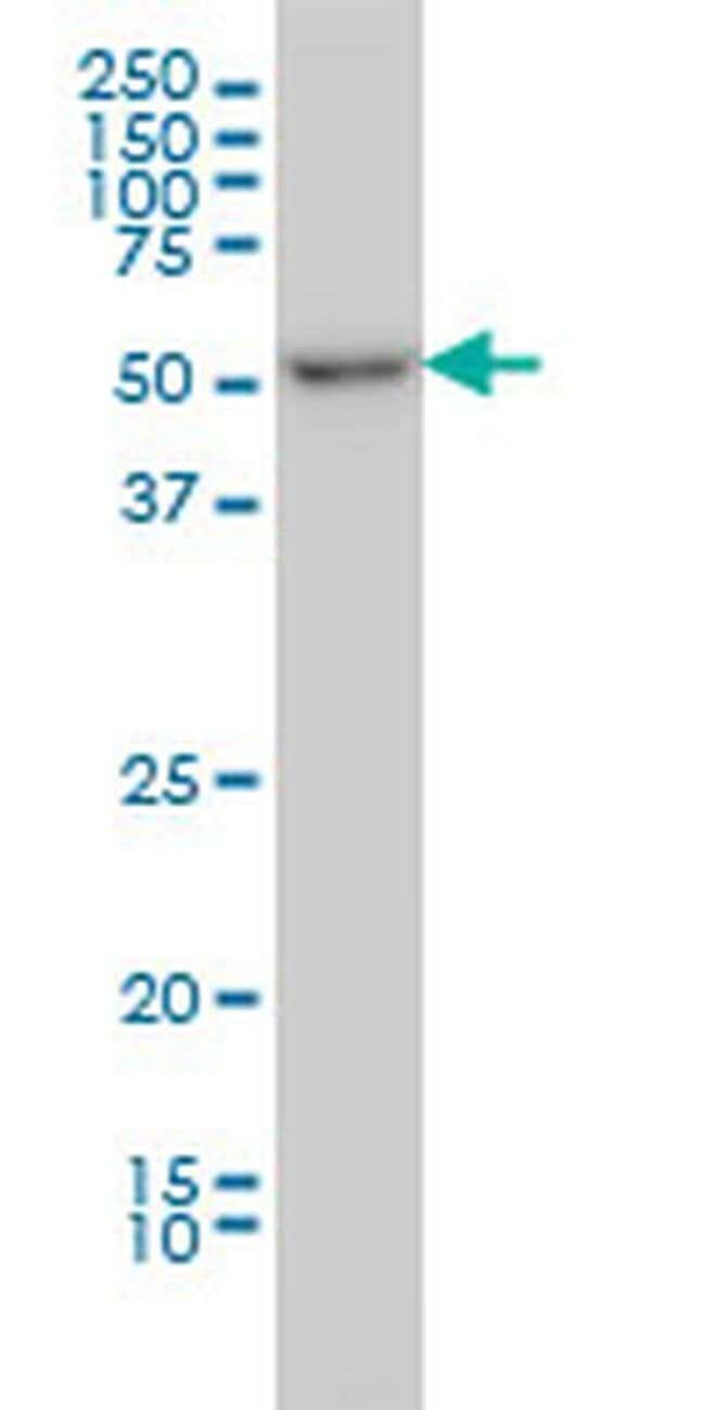 ITFG2 Mouse anti-Human, Clone: 3D7, Invitrogen 100 µg; Unconjugated