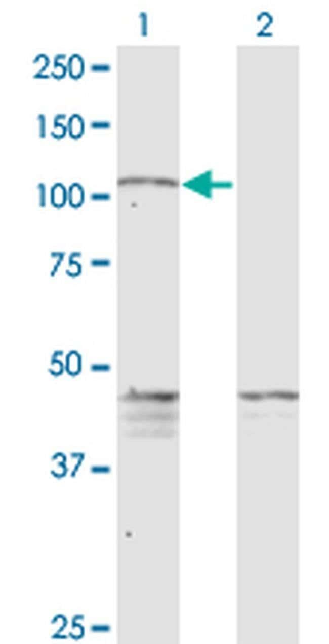 PCDHGC5 Mouse anti-Human, Clone: 3A6, Invitrogen 100 µg; Unconjugated