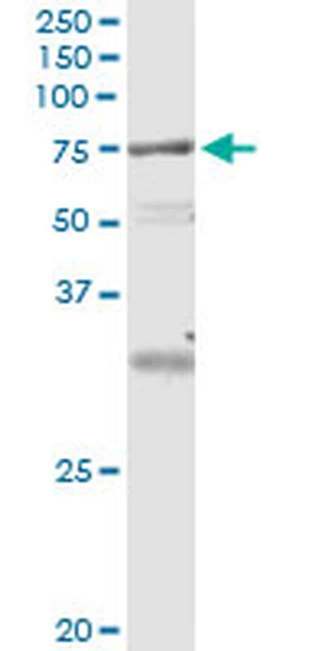VPS18 Mouse anti-Human, Clone: 4E9, Invitrogen 100 µg; Unconjugated