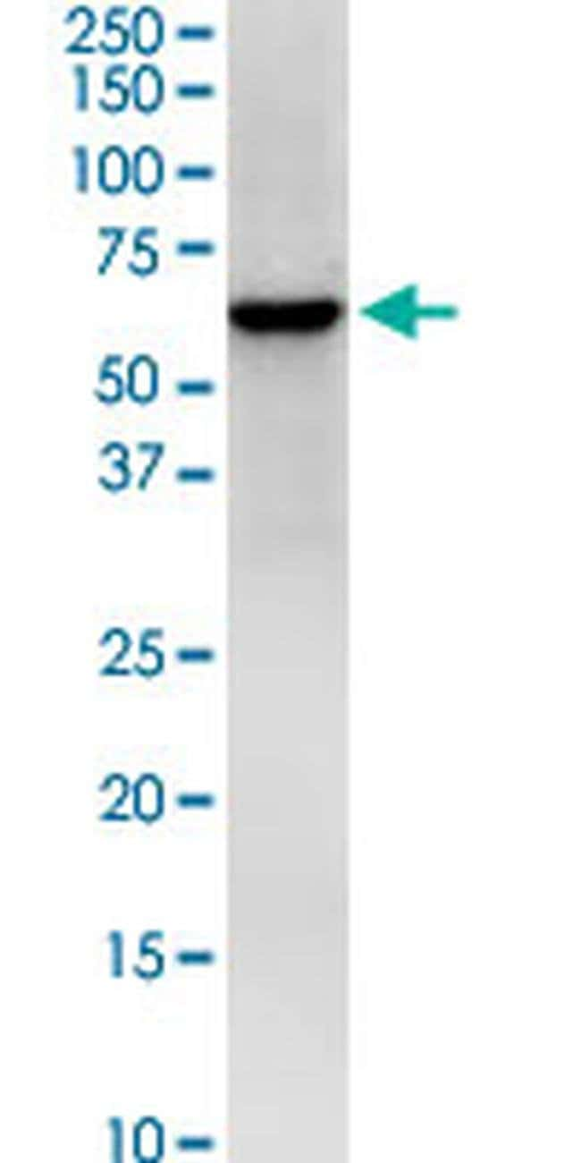 HS1BP3 Mouse anti-Human, Clone: 1E2, Invitrogen 100 µg; Unconjugated