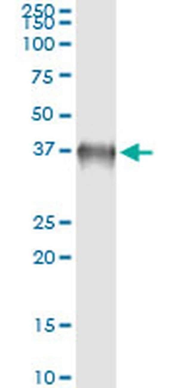 BOLL Mouse anti-Human, Clone: 2G4, Invitrogen 100 µg; Unconjugated