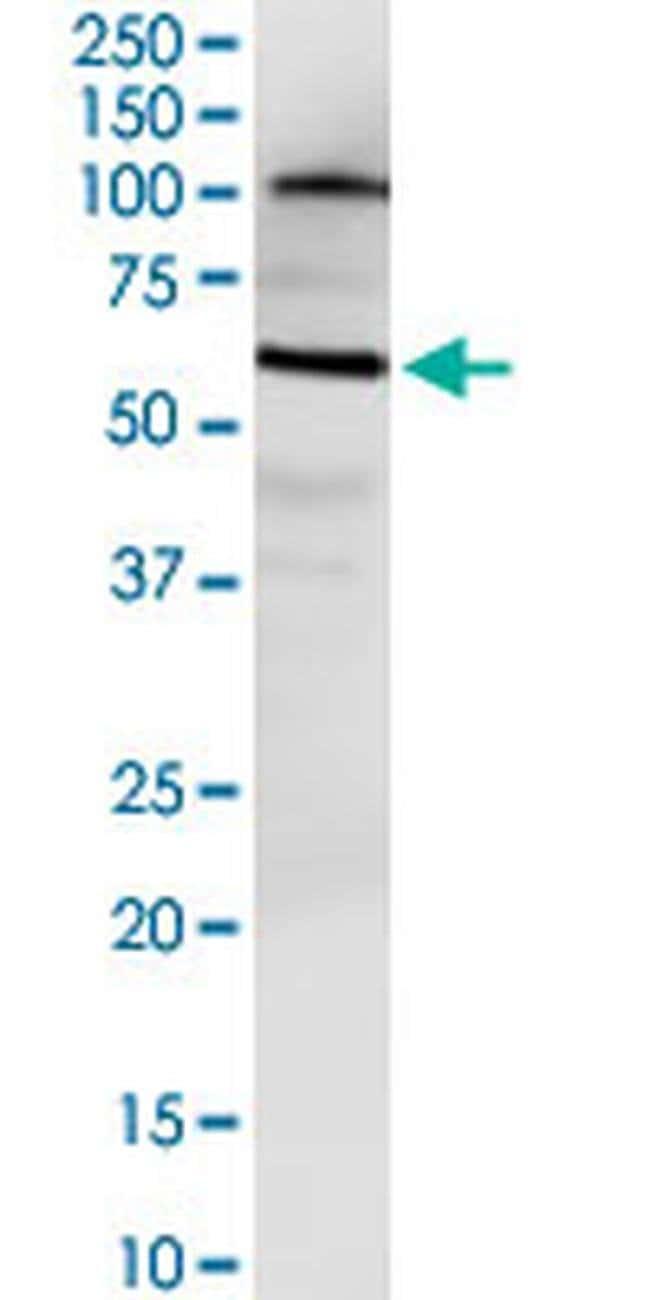 NUDT12 Mouse anti-Human, Clone: 3F7, Invitrogen 100 µg; Unconjugated