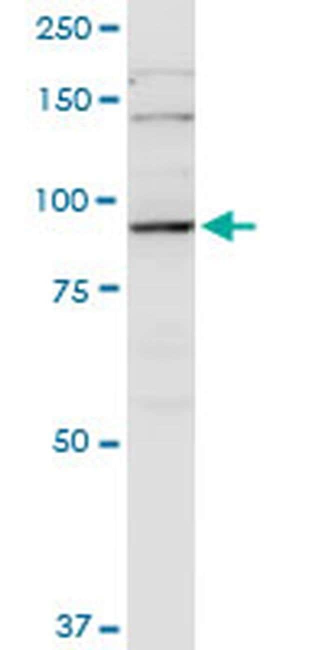 PGBD1 Mouse anti-Human, Clone: 2A3, Invitrogen 100 µg; Unconjugated