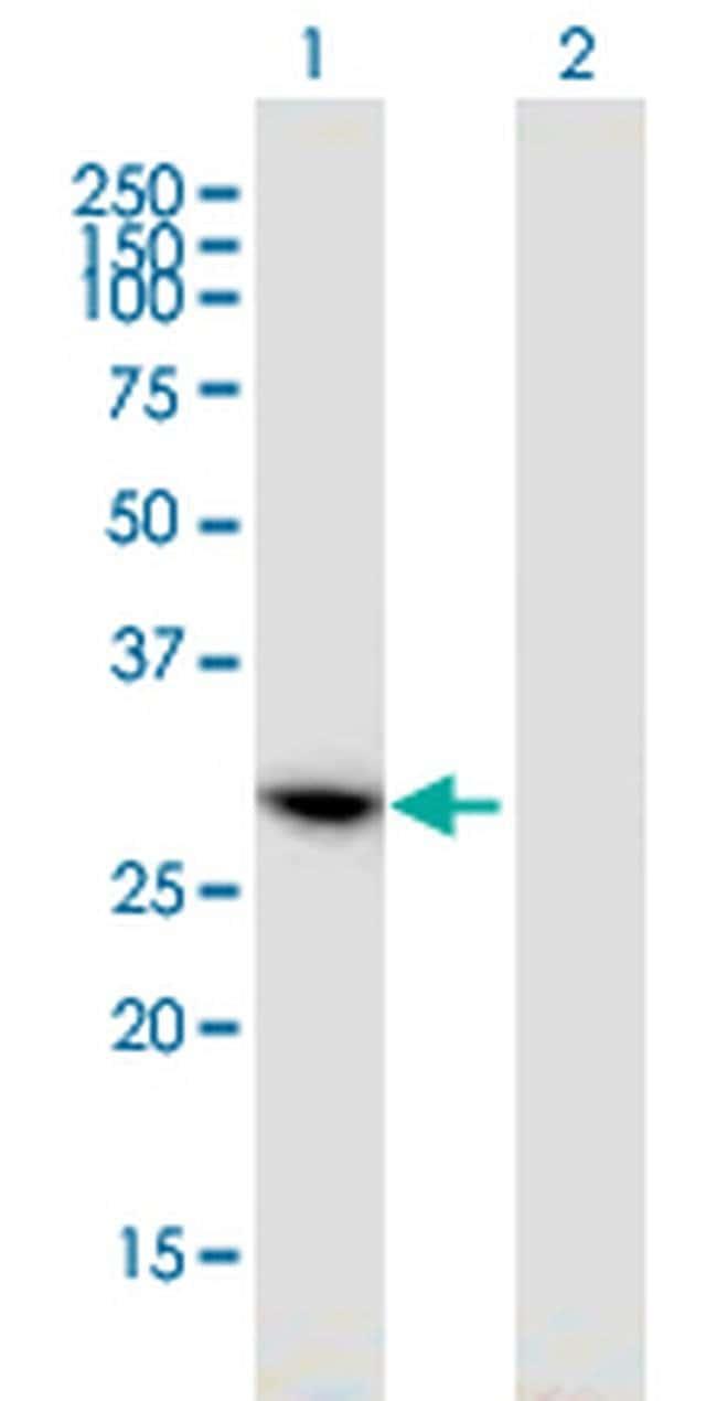 HAUS1 Mouse anti-Human, Clone: 1E3, Invitrogen 100 µg; Unconjugated