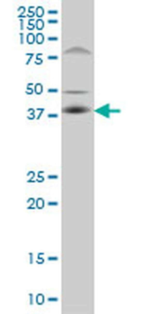 C10orf4 Mouse anti-Human, Rat, Clone: 2C4, Invitrogen 100 µg; Unconjugated