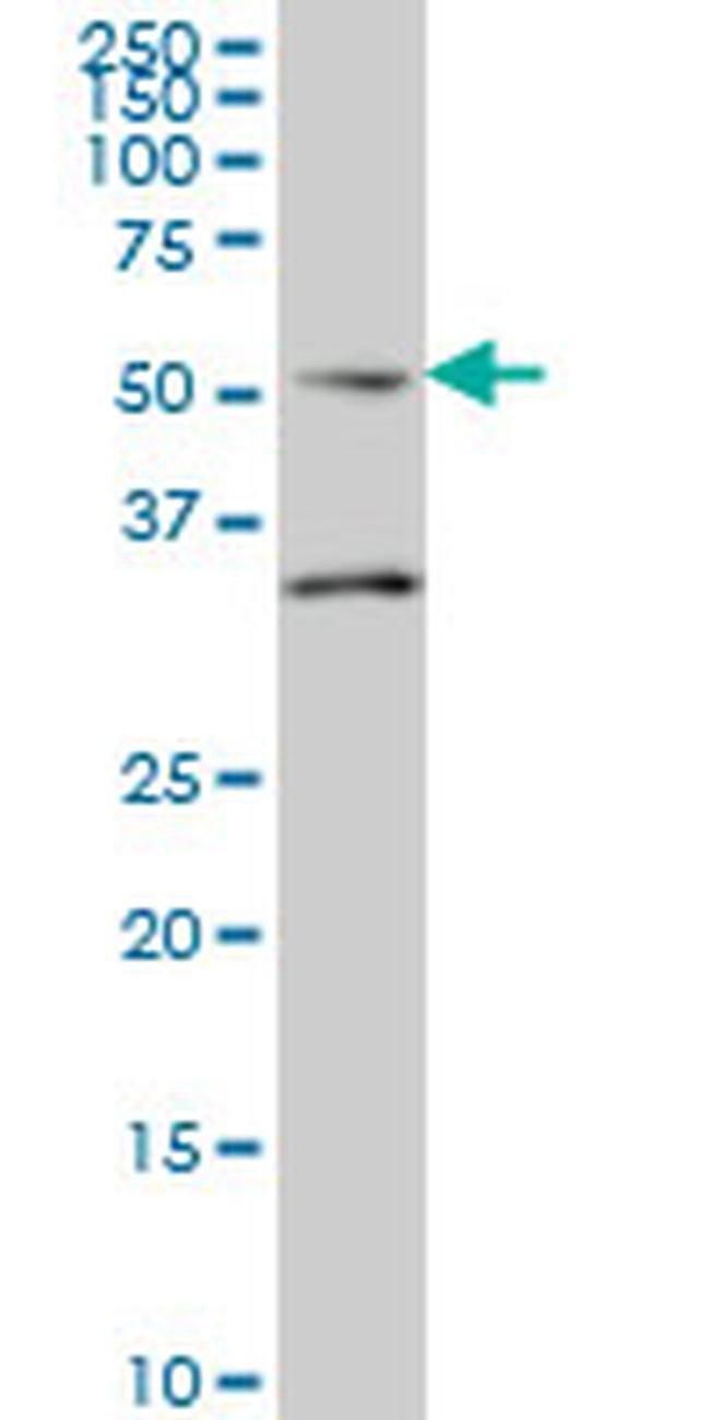 Septin-10 Mouse anti-Human, Clone: 2A12, Invitrogen 100 µg; Unconjugated