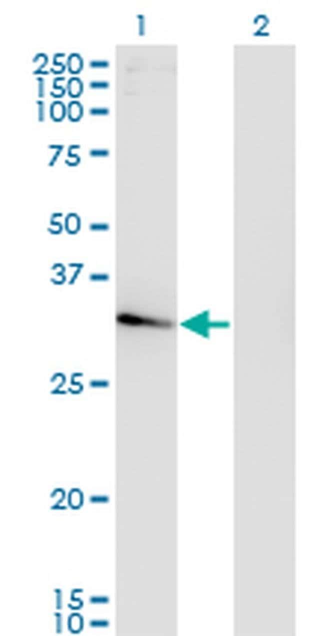 NACA2 Mouse anti-Human, Clone: 4H6, Invitrogen 100 µg; Unconjugated