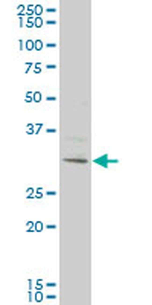 KCTD4 Mouse anti-Human, Clone: 2C8, Invitrogen 100 µg; Unconjugated
