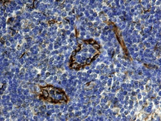 CXCL12 Mouse anti-Human, Clone: 79018, Invitrogen 500 µg; Unconjugated