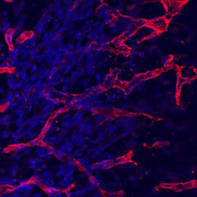 CD105 Rat anti-Mouse, Clone: 209701, Invitrogen 100 µg; Unconjugated