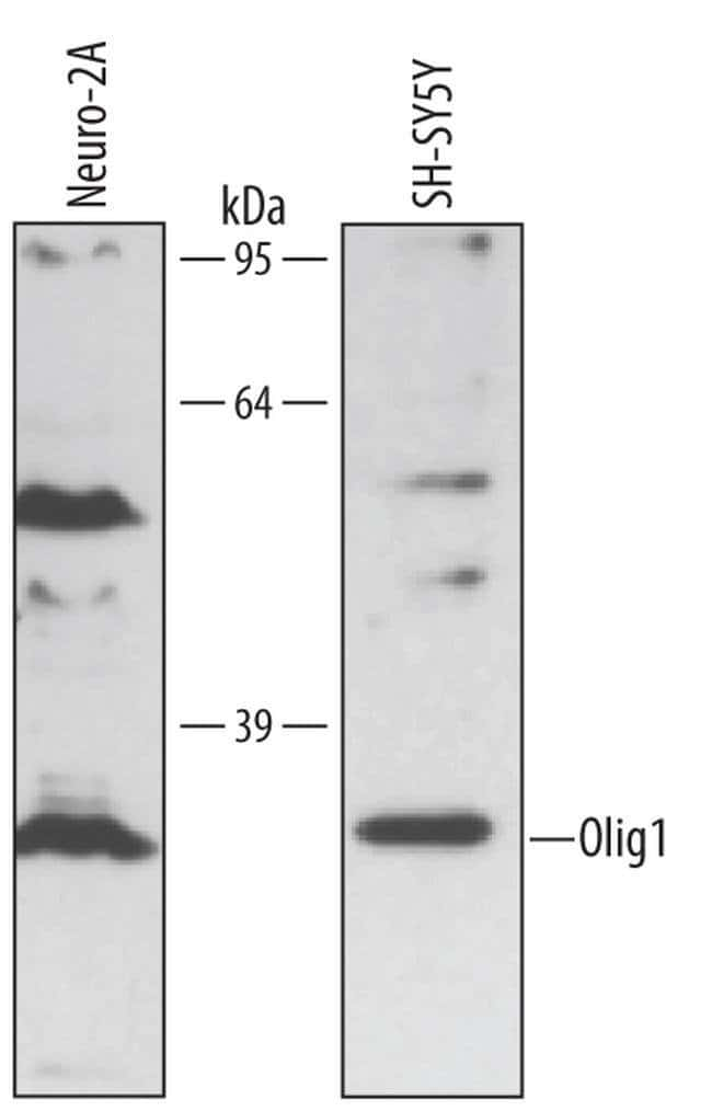 OLIG1 Mouse anti-Human, Mouse, Clone: 257219, Invitrogen 100 µg; Unconjugated