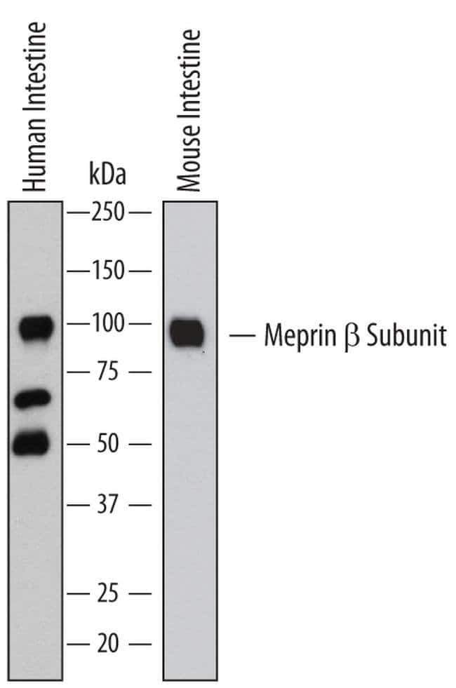 MEP1B Rat anti-Human, Mouse, Clone: 289731, Invitrogen 100 µg; Unconjugated