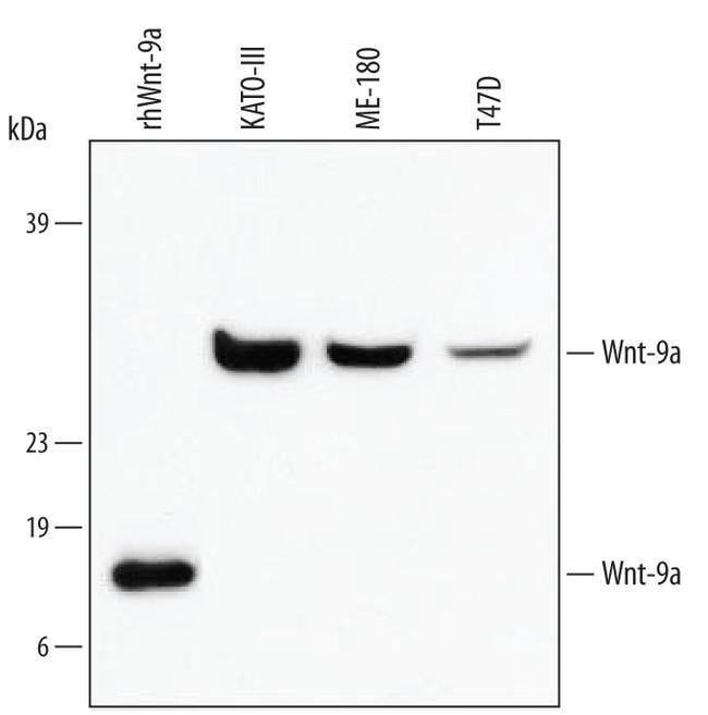WNT9A Mouse anti-Human, Clone: 326711, Invitrogen 100 µg; Unconjugated