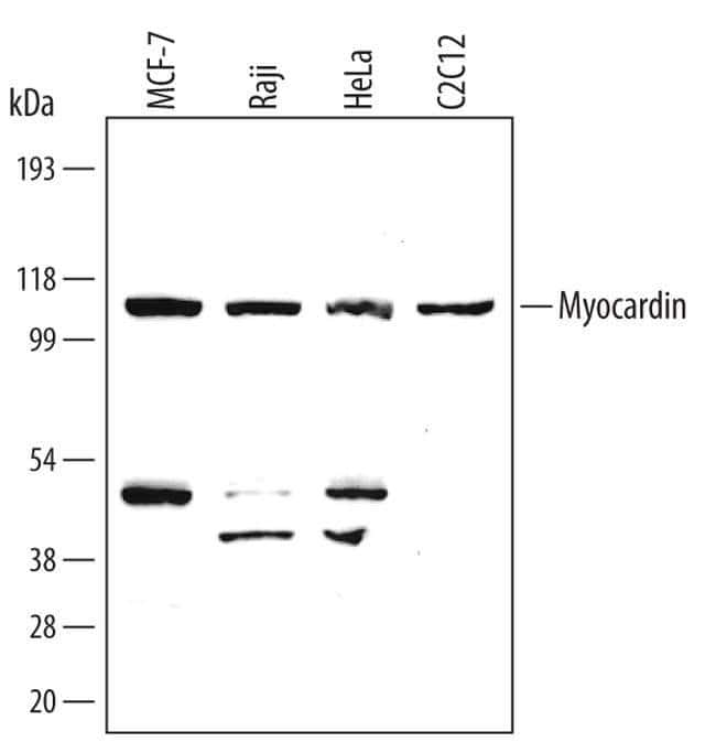 MYOCD Mouse anti-Human, Mouse, Clone: 355521, Invitrogen 100 µg; Unconjugated