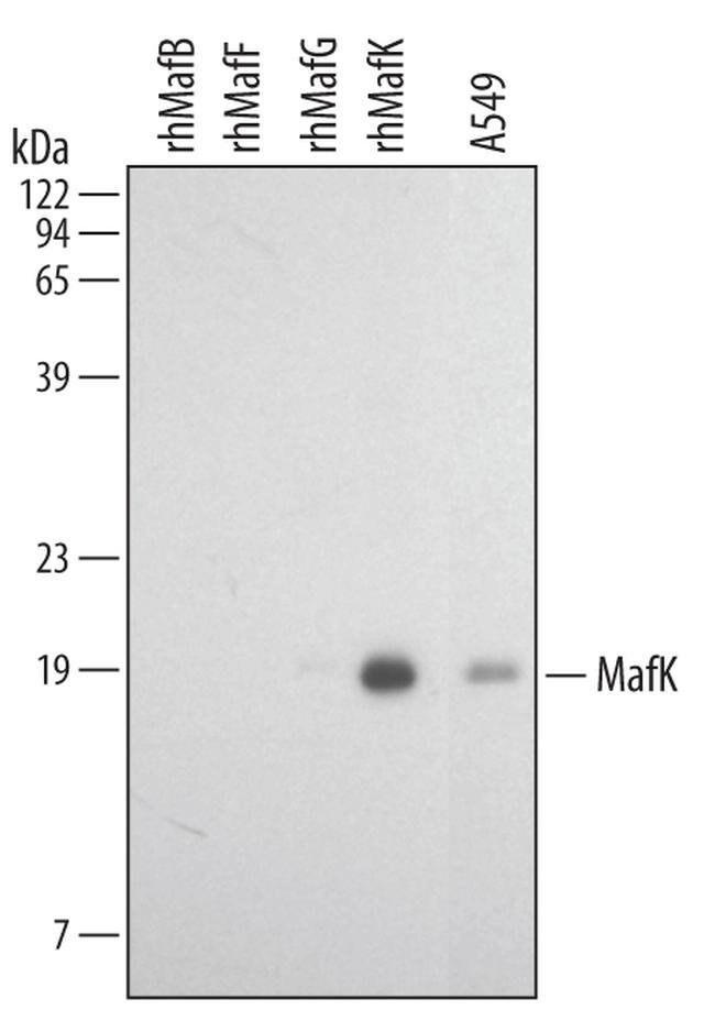 MAFK Mouse anti-Human, Mouse, Clone: 381923, Invitrogen 100 µg; Unconjugated