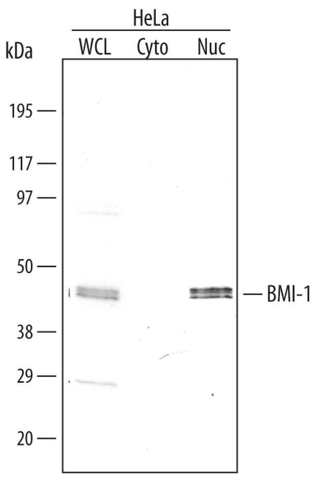 BMI-1 Mouse anti-Human, Clone: 384515, Invitrogen 50 µg; Unconjugated