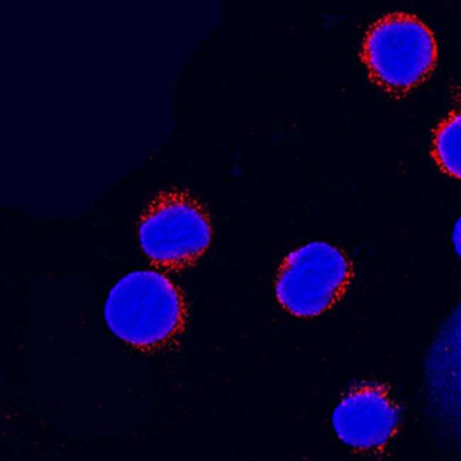 Integrin beta 7 Mouse anti-Human, Clone: 473207, Invitrogen 100 µg;