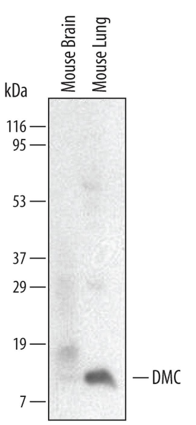 CXCL17 Rat anti-Mouse, Clone: 510614, Invitrogen 100 µg; Unconjugated