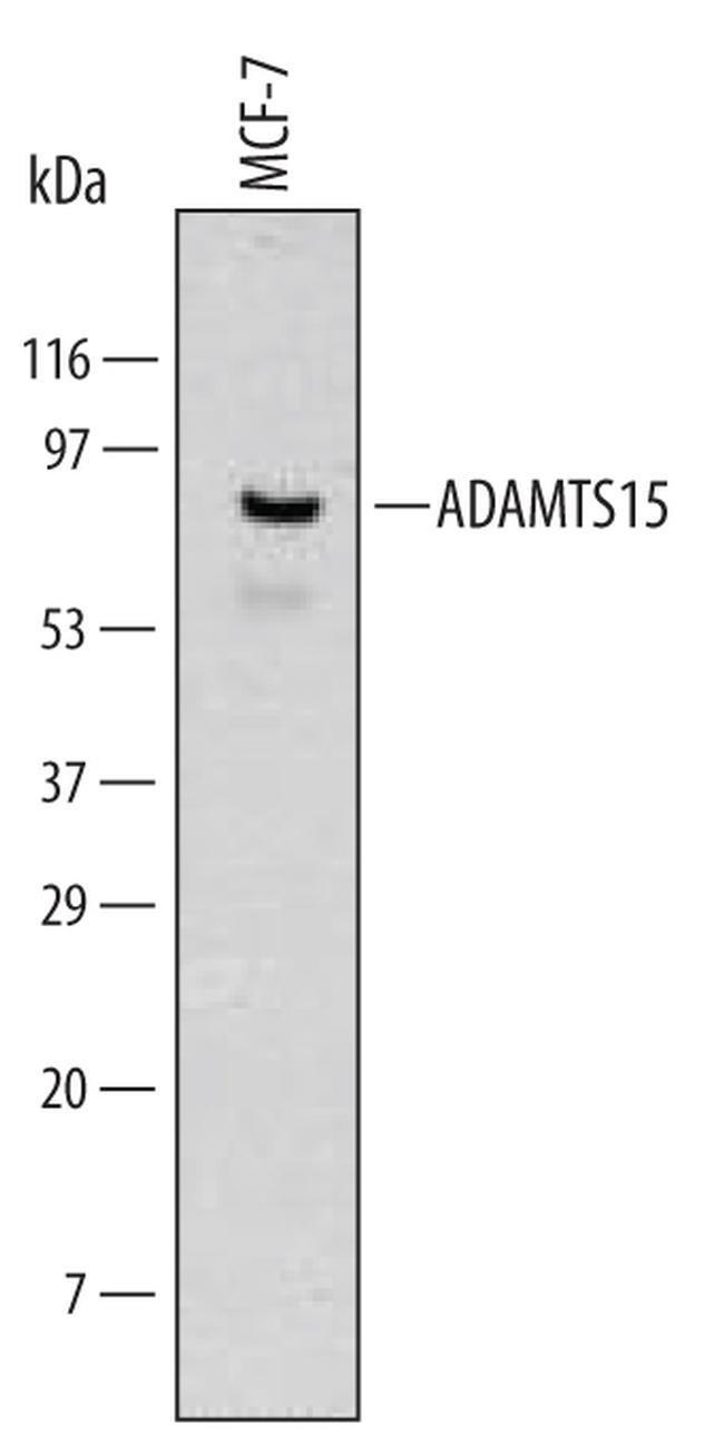 ADAMTS15 Mouse anti-Human, Clone: 561819, Invitrogen 100 µg; Unconjugated