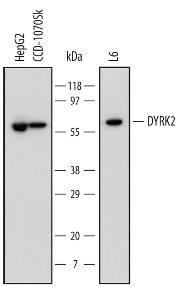 DYRK2 Mouse anti-Human, Rat, Clone: 599542, Invitrogen 100 µg; Unconjugated