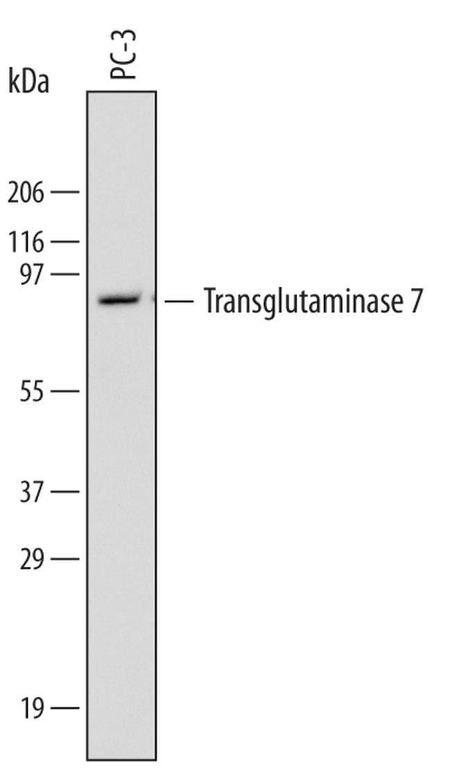 TGM7 Rat anti-Human, Clone: 602708, Invitrogen 100 µg; Unconjugated