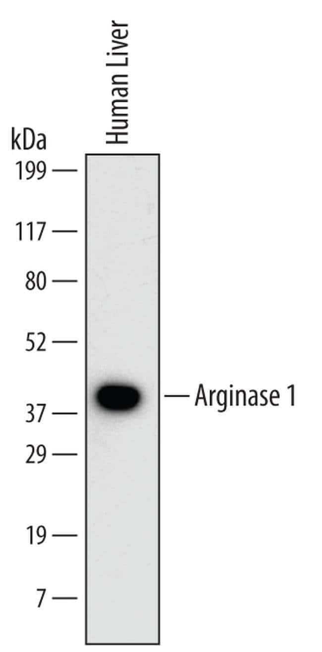 Arginase 1 Mouse anti-Human, Clone: 658934, Invitrogen 100 µg; Unconjugated