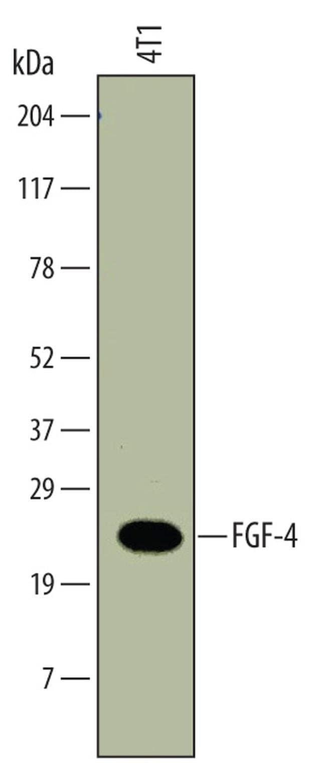 FGF4 Rat anti-Mouse, Clone: 678430, Invitrogen 100 µg; Unconjugated