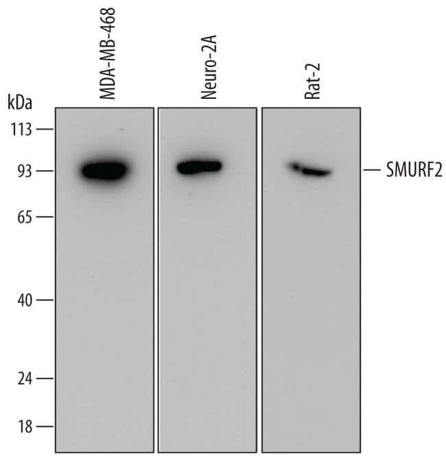 SMURF2 Mouse anti-Human, Mouse, Rat, Clone: 690638, Invitrogen 100 µg;