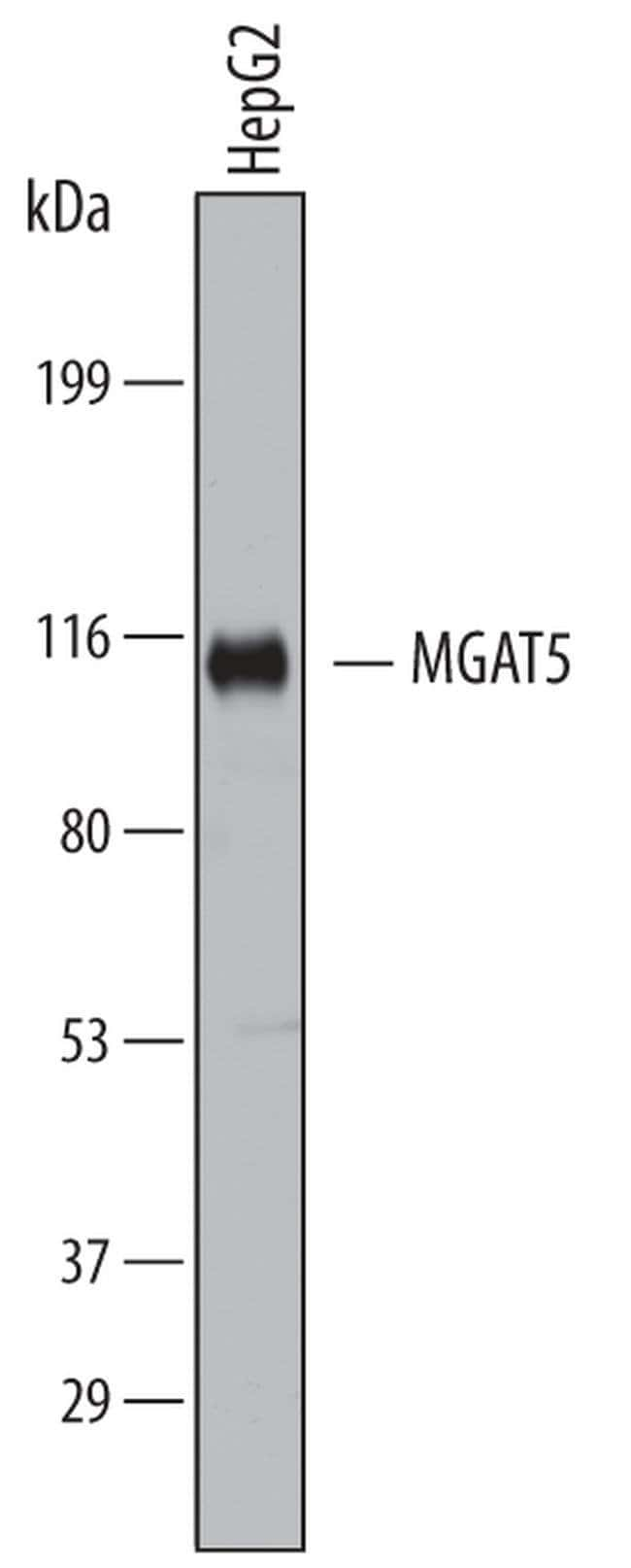 MGAT5 Mouse anti-Human, Clone: 706824, Invitrogen 100 µg; Unconjugated