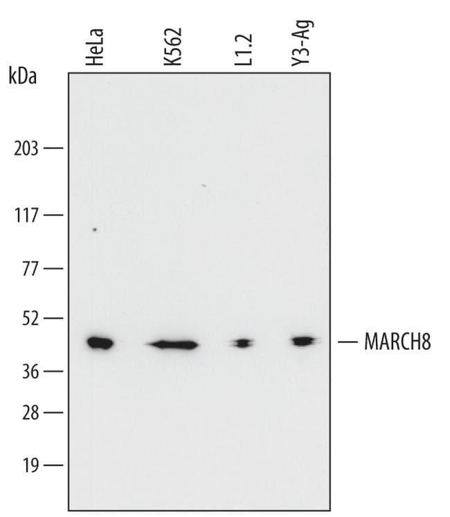 MARCH8, clone: 710424, Invitrogen 100µg; Unconjugated