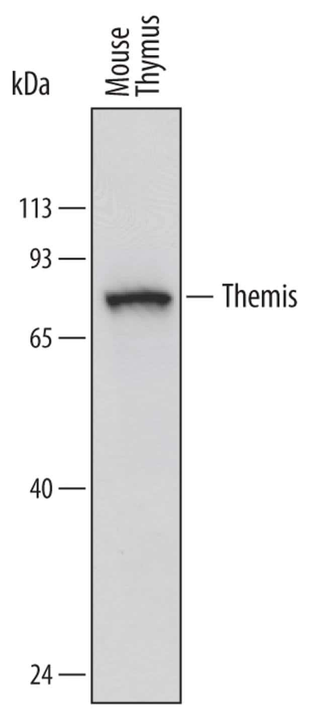 Themis Rat anti-Mouse, Clone: 719945, Invitrogen 100 µg; Unconjugated